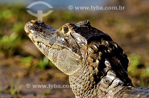 Assunto: Jacaré-do-pantanal (caiman crocodilus yacare) - também conhecido como Jacaré-do-paraguai - próximo ao pantanal do Rio Abobral / Local: Mato Grosso do Sul (MS) - Brasil / Data: 11/2011