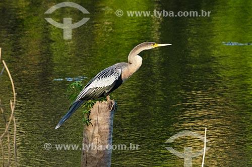 Assunto: Biguatinga (Anhinga anhinga) - também conhecido como carará, anhinga, meuá, muiá ou mergulhão-serpente - no Estrada Parque Pantanal / Local: Mato Grosso do Sul (MS) - Brasil / Data: 11/2011