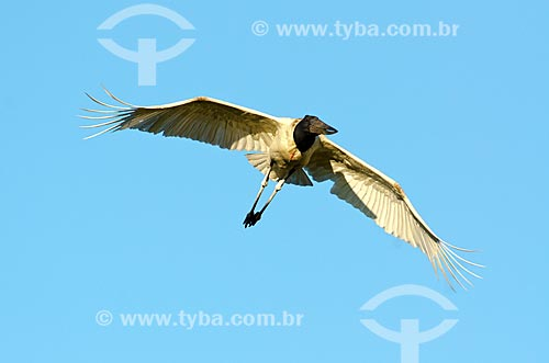 Assunto: Tuiuiú (Jabiru mycteria) voando próximo ao Estrada Parque Pantanal / Local: Corumbá - Mato Grosso do Sul (MS) - Brasil / Data: 11/2011
