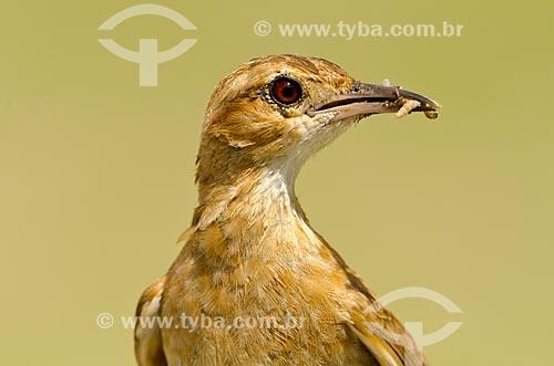 Assunto: João-de-barro (Furnarius rufus) - também conhecido como Forneiro - no Estrada Parque Pantanal / Local: Corumbá - Mato Grosso do Sul (MS) - Brasil / Data: 11/2011