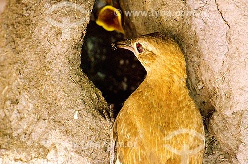 Assunto: João-de-barro (Furnarius rufus) - também conhecido como Forneiro - alimentando seus filhotes no Estrada Parque Pantanal / Local: Corumbá - Mato Grosso do Sul (MS) - Brasil / Data: 11/2011