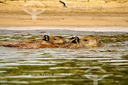 Assunto: Família de Capivara (Hydrochoerus hydrochaeris) no Estrada Parque Pantanal / Local: Corumbá - Mato Grosso do Sul (MS) - Brasil / Data: 11/2011