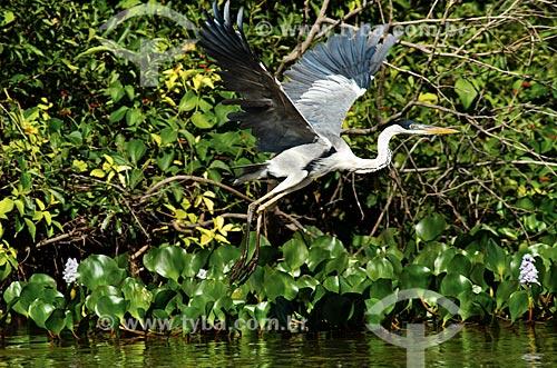 Assunto: Garça-moura (Ardea cocoi) - também conhecida como socó-de-penacho, baguari, socó-grande - voando próximo ao Estrada Parque Pantanal / Local: Corumbá - Mato Grosso do Sul (MS) - Brasil / Data: 11/2011