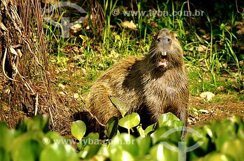 Assunto: Capivara (Hydrochoerus hydrochaeris) no Estrada Parque Pantanal / Local: Corumbá - Mato Grosso do Sul (MS) - Brasil / Data: 11/2011