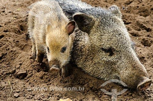 Assunto: Família de Caititu (Tayassu tajacu) - também conhecido como caitatu, taititu, cateto, tateto ou patira - no Estrada Parque Pantanal / Local: Corumbá - Mato Grosso do Sul (MS) - Brasil / Data: 11/2011