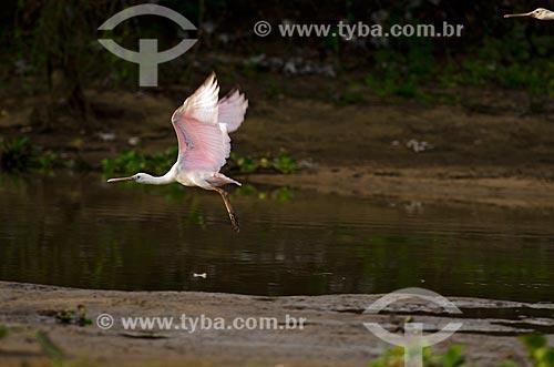 Assunto: Colhereiro (Platalea ajaja) - também conhecido como aiaia e colhereiro-americano - voando no Estrada Parque Pantanal / Local: Corumbá - Mato Grosso do Sul (MS) - Brasil / Data: 11/2011