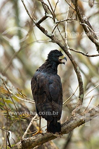 Assunto: Gavião-preto (Urubitinga urubitinga) - também conhecido como urubutinga - próxima à Rodovia Transpantaneira (MT-060) / Local: Mato Grosso (MT) - Brasil / Data: 10/2012