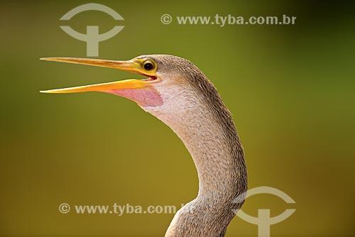 Assunto: Biguatinga (Anhinga anhinga) - também conhecido como carará, anhinga, meuá, muiá ou mergulhão-serpente - no Estrada Parque Pantanal / Local: Corumbá - Mato Grosso do Sul (MS) - Brasil / Data: 10/2012