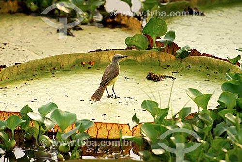Assunto: Suiriri (Tyrannus melancholicus) pousado sobre Vitória-régia (Victoria amazonica) no pantanal / Local: Mato Grosso (MT) - Brasil / Data: 10/2012