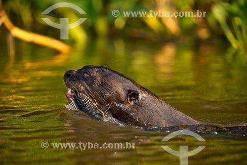 Assunto: Ariranha (Pteronura brasiliensis) - também conhecido como onça-dágua, lontra-gigante ou lobo-do-rio - no Estrada Parque Pantanal / Local: Corumbá - Mato Grosso do Sul (MS) - Brasil / Data: 10/2012