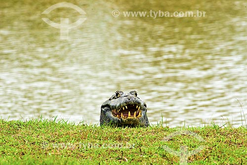Assunto: Jacarés-do-pantanal (caiman crocodilus yacare) - também conhecido como Jacaré-do-paraguai / Local: Poconé - Mato Grosso (MT) - Brasil / Data: 10/2012