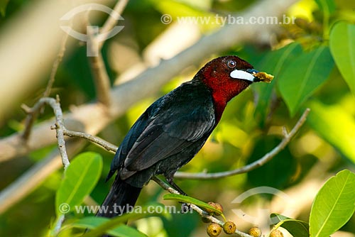 Assunto: Pipira-vermelha (Ramphocelus bresilus) - também conhecida como Bico-de-prata ou Pipira / Local: Poconé - Mato Grosso (MT) - Brasil / Data: 10/2012