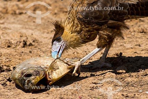 Assunto: Carcará (Polyborus plancus) comendo Pacu / Local: Bodoquena - Mato Grosso do Sul (MS) - Brasil / Data: 10/2012