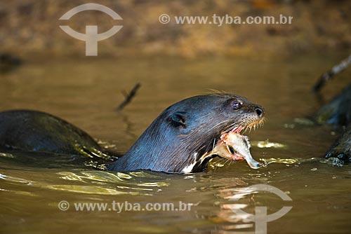 Assunto: Ariranha (Pteronura brasiliensis) - também conhecido como onça-dágua, lontra-gigante ou lobo-do-rio - comendo uma Piranha / Local: Corumbá - Mato Grosso do Sul (MS) - Brasil / Data: 10/2012