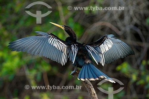 Assunto: Biguatinga (Anhinga anhinga) - também conhecido como carará, anhinga, meuá, muiá ou mergulhão-serpente - no Pantanal / Local: Mato Grosso (MT) - Brasil / Data: 10/2012