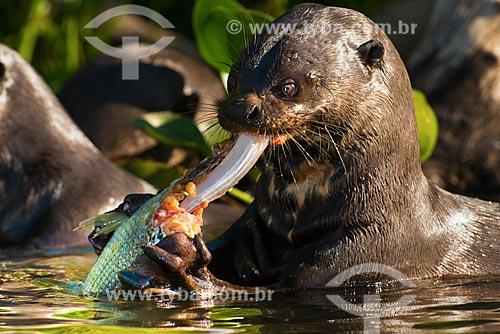 Assunto: Ariranha (Pteronura brasiliensis) - também conhecido como onça-dágua, lontra-gigante ou lobo-do-rio - comendo peixe / Local: Corumbá - Mato Grosso do Sul (MS) - Brasil / Data: 10/2012