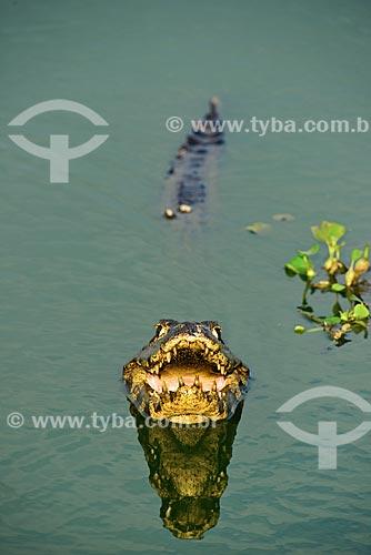Assunto: Jacarés-do-pantanal (caiman crocodilus yacare) - também conhecido como Jacaré-do-paraguai - no Estrada Parque Pantanal / Local: Corumbá - Mato Grosso do Sul (MS) - Brasil / Data: 10/2012