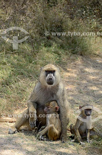 Assunto: Família de babuínos no Parque Nacional de Amboseli / Local: Vale do Rift - Quênia - África / Data: 09/2012