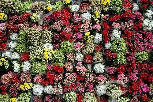 Vasos de Calandivas (Kalanchoe blossfeldiana) - também conhecida como flor do papai ou flor da fortuna - à venda no Centro de Abastecimento do Estado da Guanabara (CADEG)  - Rio de Janeiro - Rio de Janeiro - Brasil