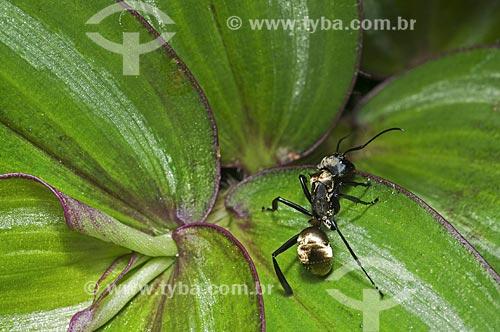 Assunto: Formiga-dourada (Camponotus sericeiventris) / Local: Pendotiba - Niterói - Rio de Janeiro (RJ) - Brasil / Data: 10/2013