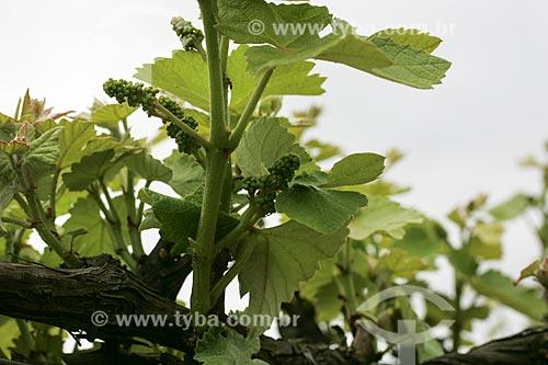 Plantação de uvas  - Garibaldi - Rio Grande do Sul - Brasil