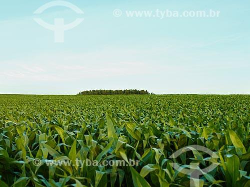 Assunto: Vista geral de plantação de milho / Local: Holambra - São Paulo (SP) - Brasil / Data: 12/2013
