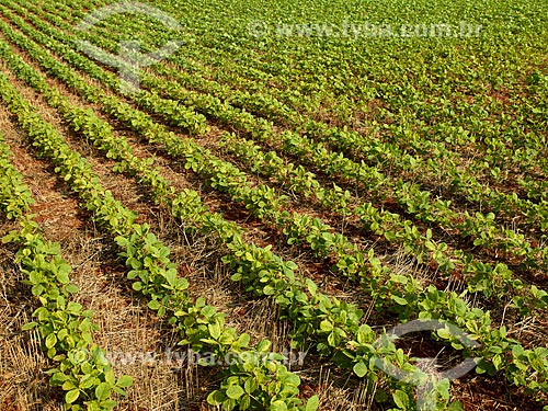 Assunto: Plantação de soja / Local: Holambra - São Paulo (SP) - Brasil / Data: 12/2013