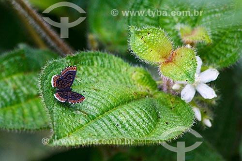 Assunto: Vista de borboleta pousando em planta no campo / Local: Distrito Vista Alegre do Abunã - Porto Velho - Rondônia (RO) - Brasil / Data: 02/2013