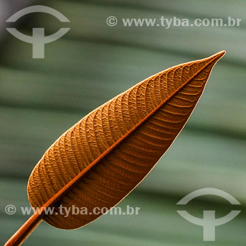Assunto: Folha de planta nativa no campo / Local: Porto Velho - Rondônia (RO) - Brasil / Data: 02/2013