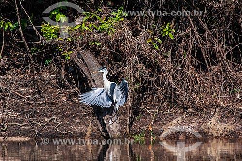 Assunto: Garça-moura (Ardea cocoi) - também conhecida como socó-de-penacho, baguari, socó-grande - no Vale do Guaporé / Local: Rondônia (RO) - Brasil / Data: 08/2013