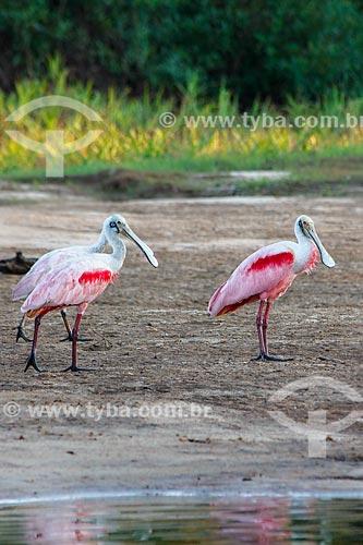 Assunto: Colhereiro (Platalea ajaja) - também conhecido como aiaia e colhereiro-americano - no Vale do Guaporé / Local: Rondônia (RO) - Brasil / Data: 08/2013