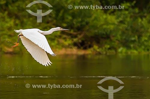 Assunto: Garça-branca-grande (Ardea alba) no Vale do Guaporé / Local: Rondônia (RO) - Brasil / Data: 08/2013