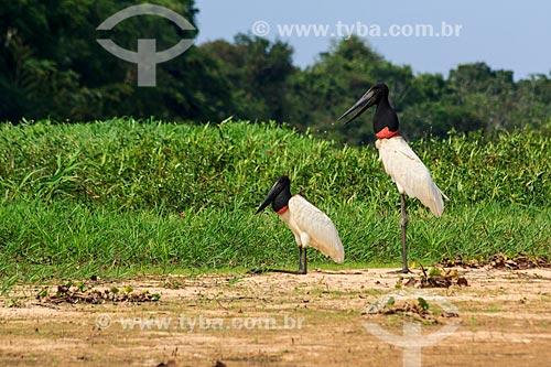 Assunto: Tuiuiú (Jabiru mycteria) no Vale do Guaporé / Local: Rondônia (RO) - Brasil / Data: 09/2012