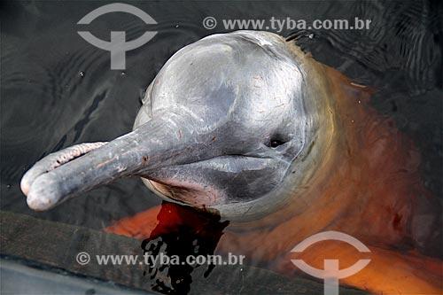 Assunto: Boto-cor-de-rosa (Inia geoffrensis) no Rio Negro / Local: Novo Airão - Amazonas (AM) - Brasil / Data: 03/2012