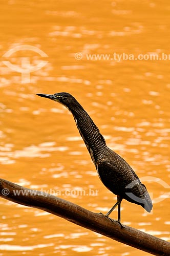 Assunto: Socó-boi (Tigrisoma lineatum) as margens do Rio Sucuriú / Local: Costa Rica - Mato Grosso do Sul (MS) - Brasil / Data: 02/2014