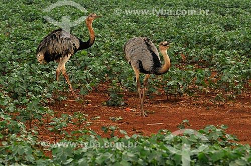 Assunto: Emas em plantação de algodão  / Local: Chapadão do Sul - Mato Grosso do Sul (MS) - Brasil / Data: 02/2014