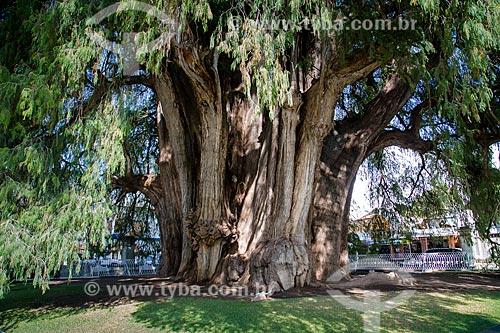 Assunto: Árbol del Tule - considerada a maior árvore em largura do mundo / Local: Santa María del Tule - Oaxaca - México - América do Norte / Data: 10/2013