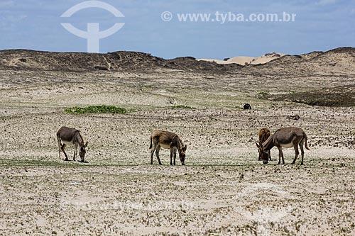 Assunto: Burros pastando no distrito de Flecheiras / Local: Trairi - Ceará (CE) - Brasil / Data: 11/2012