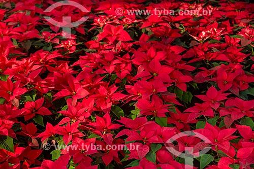 Assunto: Jardim com Poinsétias (Euphorbia pulcherrima) / Local: Oaxaca - México - América do Norte / Data: 11/2013
