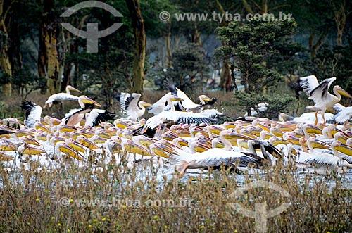 Assunto: Bando de Pelicanos-branco (Pelecanus onocrotalus) no Lago Naivasha - Parque Nacional Lago Naivasha / Local: Vale do Rift - Quênia - África / Data: 09/2012