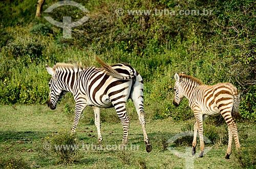 Assunto: Zebras no Parque Nacional Lago Naivasha / Local: Vale do Rift - Quênia - África / Data: 09/2012