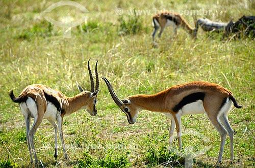 Assunto: Gazelas-de-thomson (Gazella thomsonii) na Reserva Nacional Masai Mara / Local: Vale do Rift - Quênia - África / Data: 09/2012