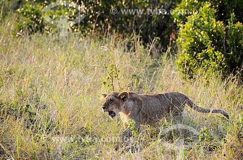 Assunto: Filhote de Leão (Panthera leo) na Reserva Nacional Masai Mara / Local: Vale do Rift - Quênia - África / Data: 09/2012