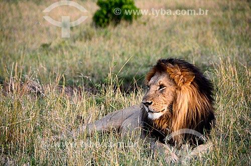 Assunto: Leões (Panthera leo) na Reserva Nacional Masai Mara / Local: Vale do Rift - Quênia - África / Data: 09/2012