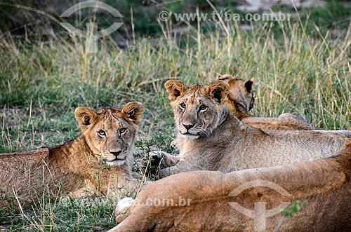 Assunto: Filhotes de Leão (Panthera leo) na Reserva Nacional Masai Mara / Local: Vale do Rift - Quênia - África / Data: 09/2012