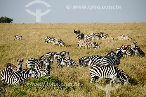 Assunto: Zebras na Reserva Nacional Masai Mara / Local: Vale do Rift - Quênia - África / Data: 09/2012