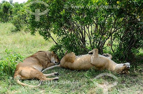 Assunto: Leoas deitadas dormindo na sombra de árvore - Reserva Nacional Masai Mara / Local: Vale do Rift - Quênia - África / Data: 09/2012