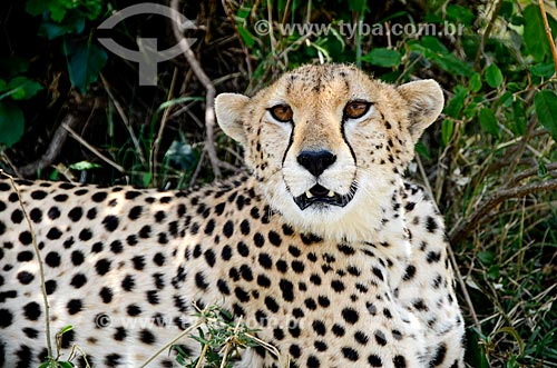 Assunto: Guepardo ou Chita (Acinonyx jubatus) na Reserva Nacional Masai Mara / Local: Vale do Rift - Quênia - África / Data: 09/2012