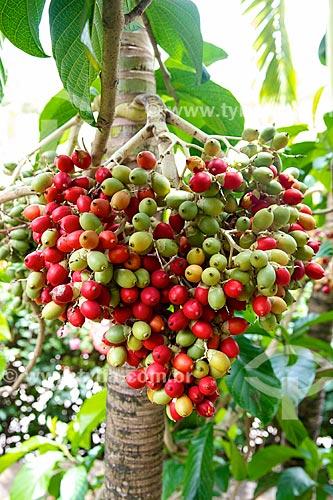 Assunto: Fruto em palmeira próximo ao hotel Lakaz Chamarel Exclusive Lodge / Local: Distrito de Rivière Noire - Maurício - África / Data: 11/2012