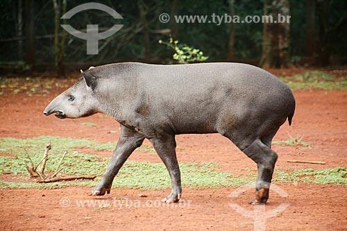 Assunto: Anta (Tapirus terrestris) no Refúgio Biológico Bela Vista / Local: Foz do Iguaçu - Paraná (PR) - Brasil / Data: 05/2008
